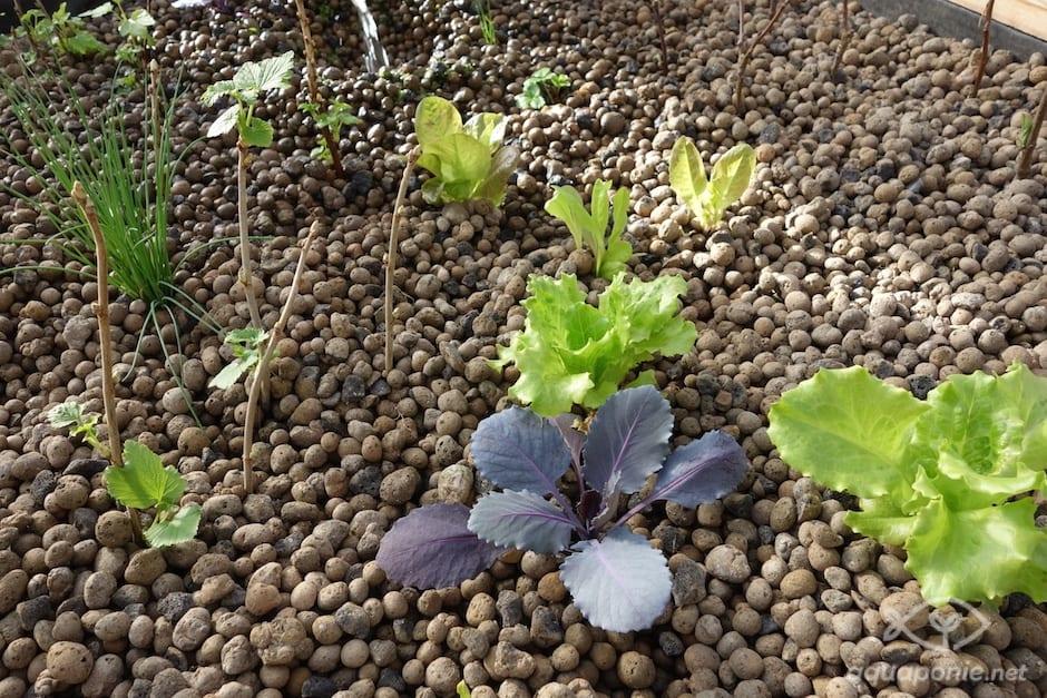 Quand planter salade - Quand planter des choux ...