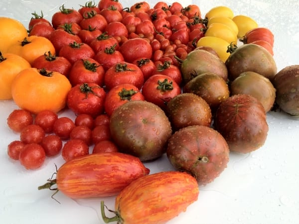 Tomates produites en aquaponie au goût excellent