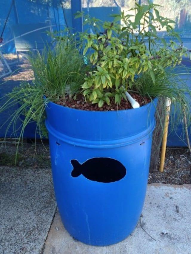 Commencer un système d'aquaponie à partir d'un baril alimentaire