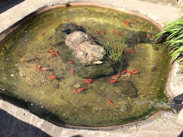 Eau du bassin à poisson limpide