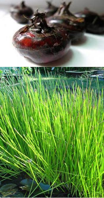 chataigne-eau-chinoise