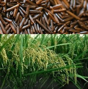riz-sauvage
