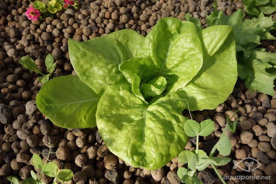 salade-aquaponie-petit-pois