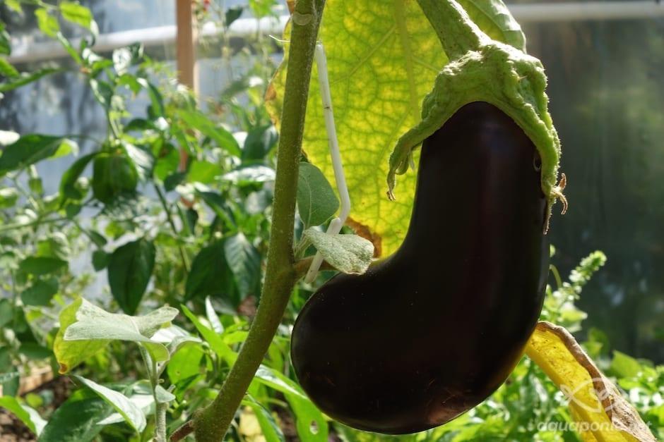 aubergine-aquaponie-1