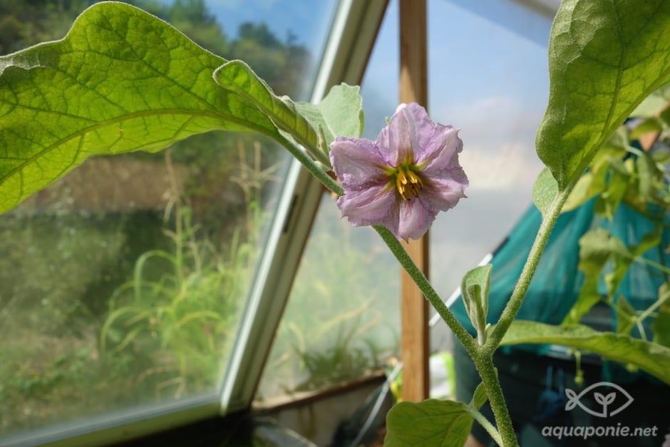 aubergine-aquaponie-2