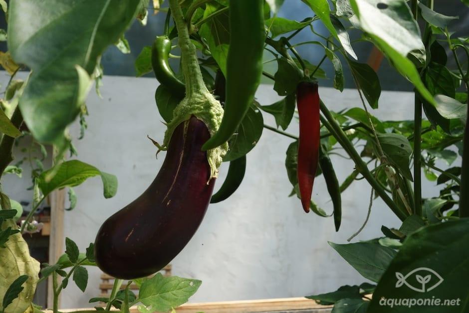 aubergine-aquaponie-3