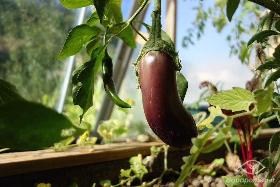 aubergine-aquaponie-4