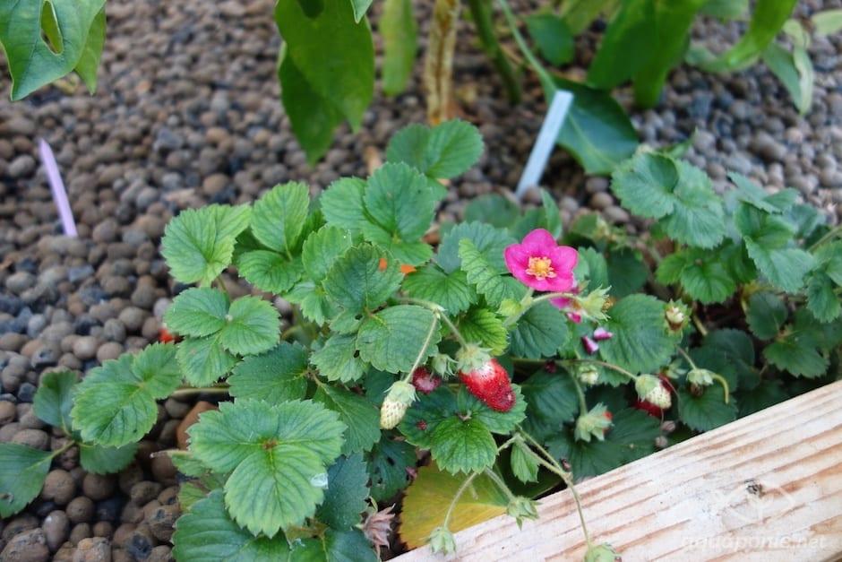 fraise-aquaponie