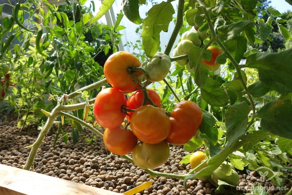 tomate-aquaponie-1