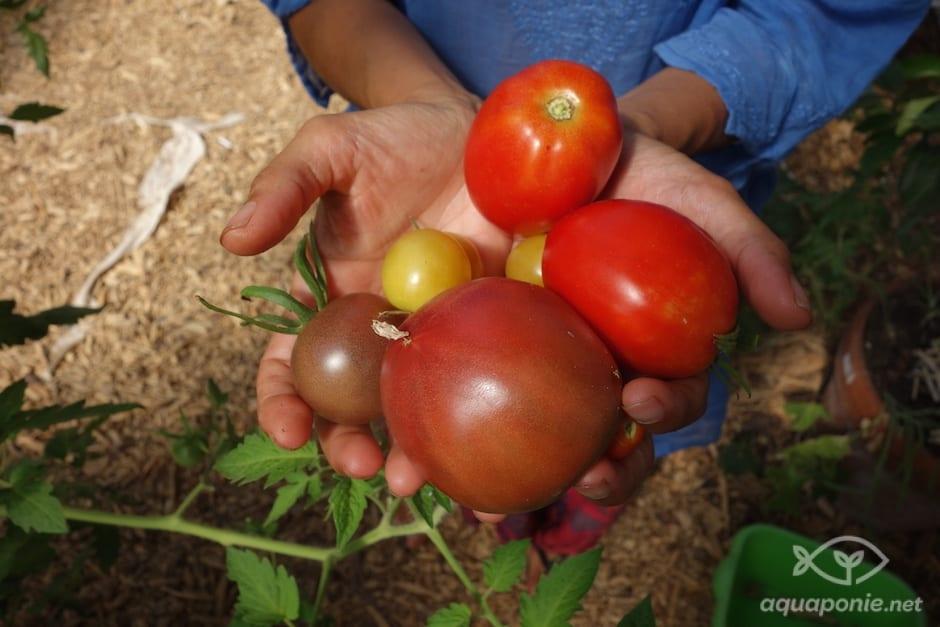 tomate-aquaponie-2