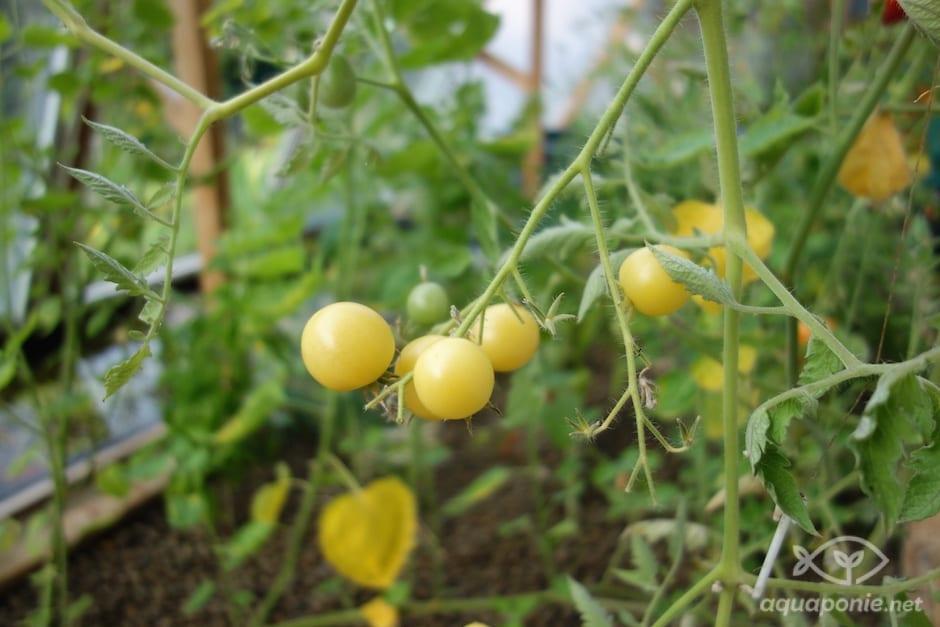 tomate-aquaponie-3