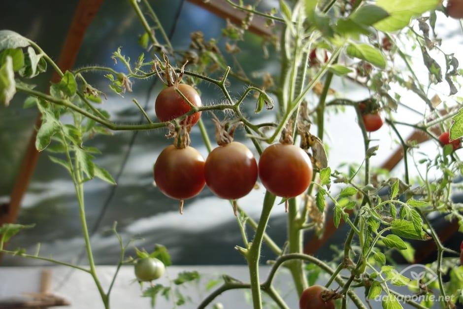 tomate-aquaponie-4
