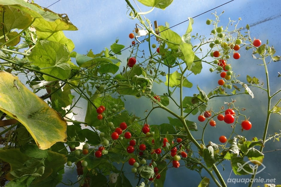 tomate-aquaponie-7