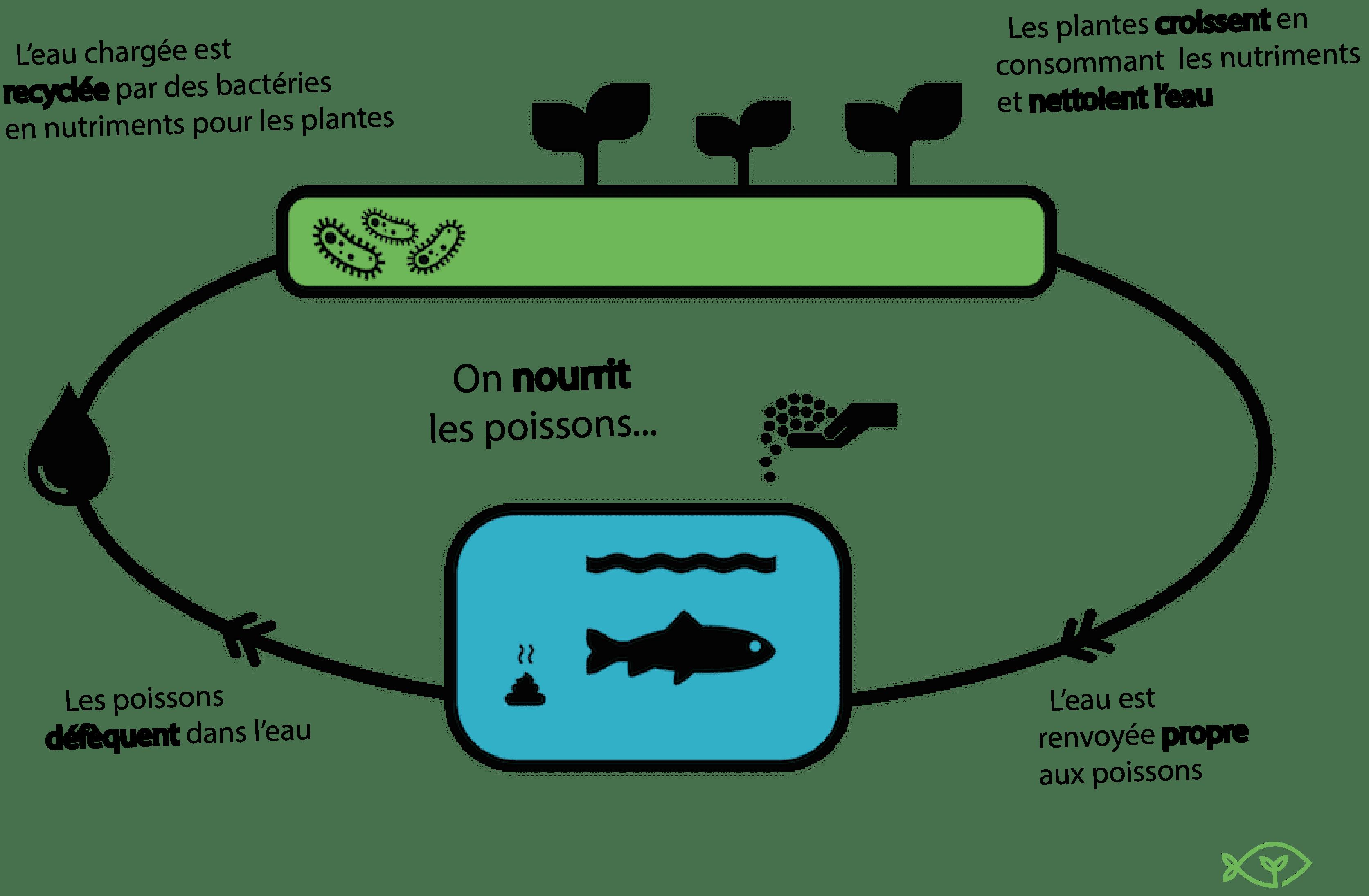 schéma expliqué du cycle de l'aquaponie