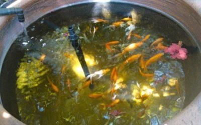 Tout simplement :  commencer l'aquaponie